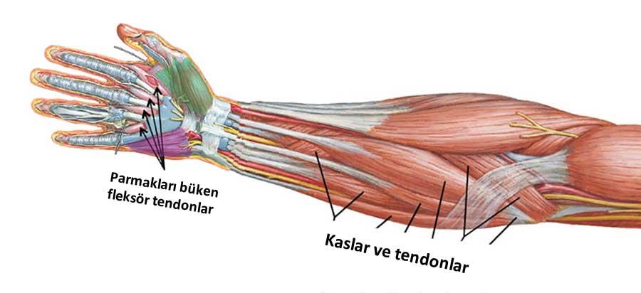 fleksor tendonu ve eli ilgilendiren diger tendonlar